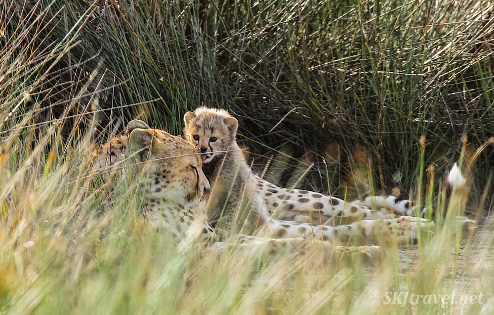 Cheetah cub licking its mom's head. Ndutu, Tanzania.