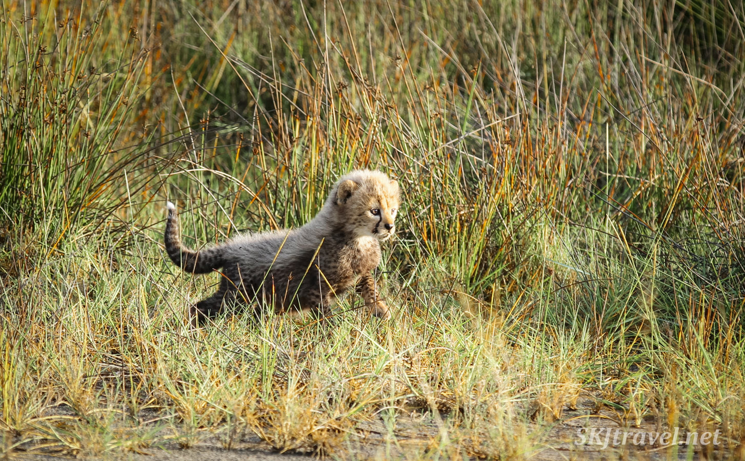 Baby cheetah cub practicing stalking skills in marsh reeds. Ndutu, Tanzania.