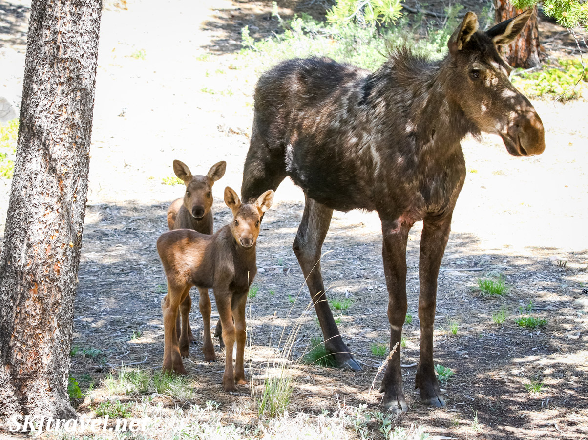 Mama moose with newborn twins. Nederland, Colorado.