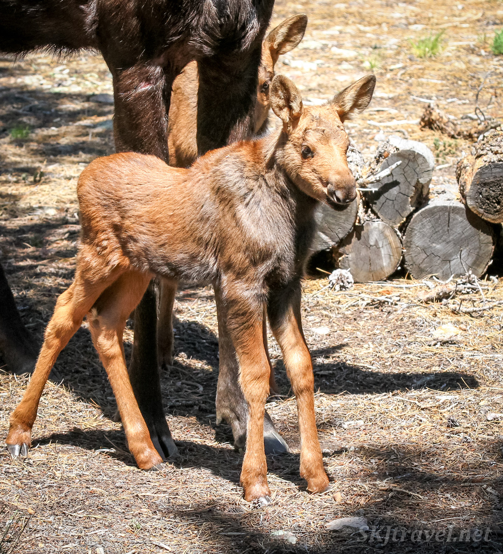 Newborn moose twins. Nederland, Colorado, Rocky Mountains.