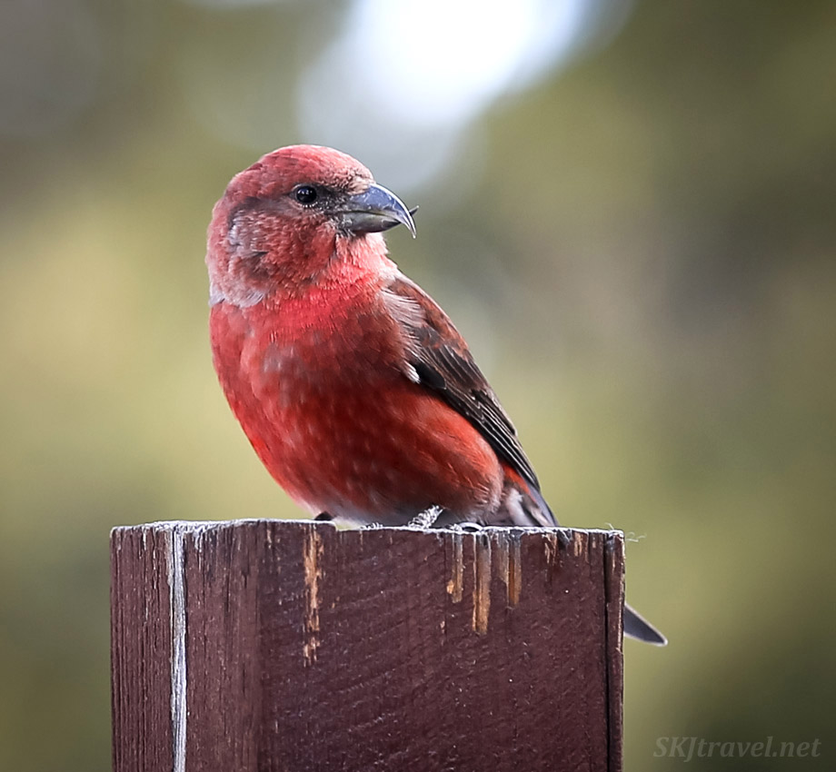 Male red crossbill. Nederland, Colorado.