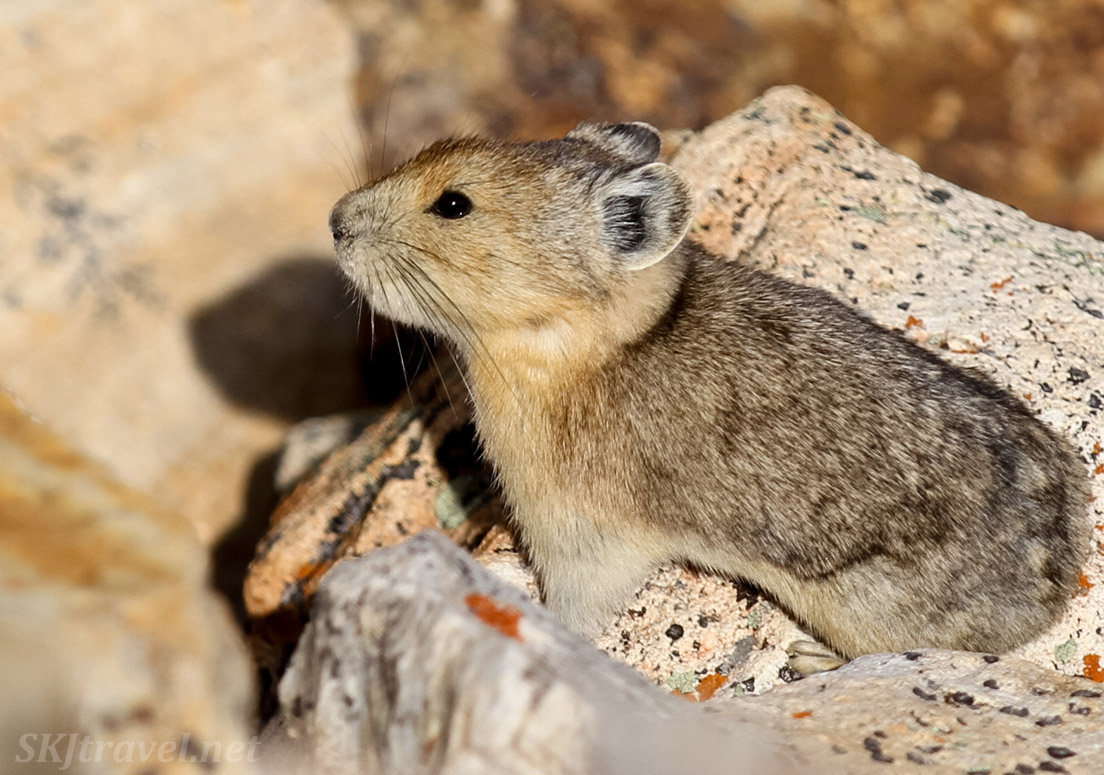Pika sitting on a warm rock in a skree slope. Colorado Rocky Mountains.