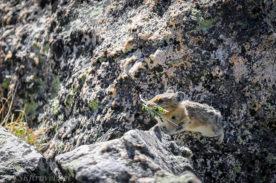 Rocky Mountain pika carrying grass in his mouth, Kingston Pass Rock House, Colorado 4x4 trail.