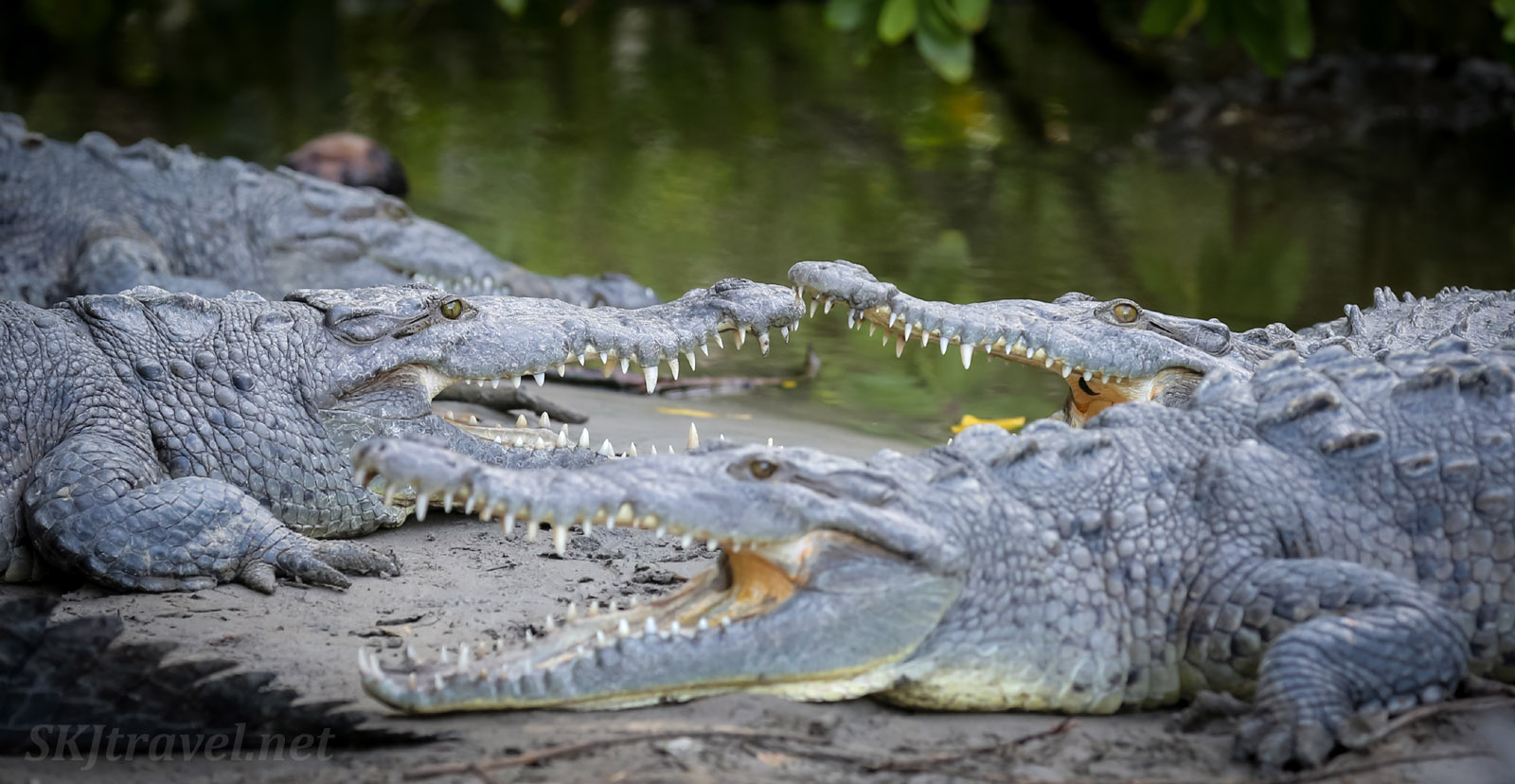 American crocodiles with mouths open, Popoyote Lagoon, Playa Linda, Ixtapa Mexico.