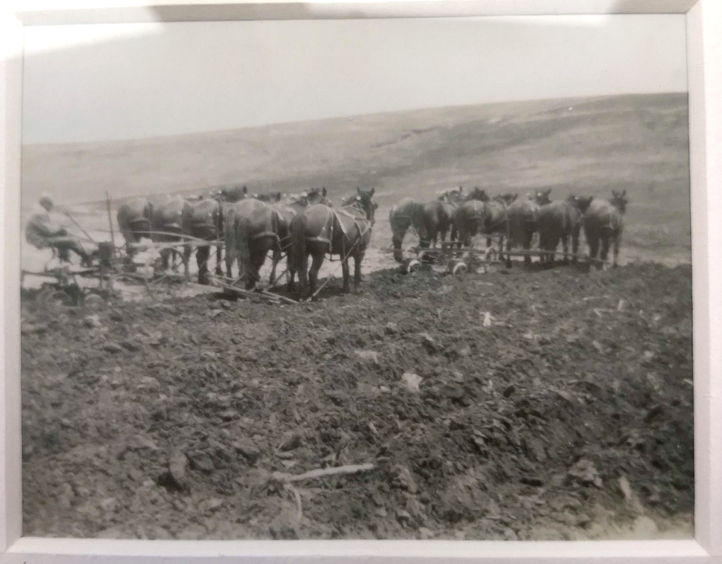 My grandpa, Clarence Maack, plowing the fields with 12 head of horse. Cozad, Nebraska.