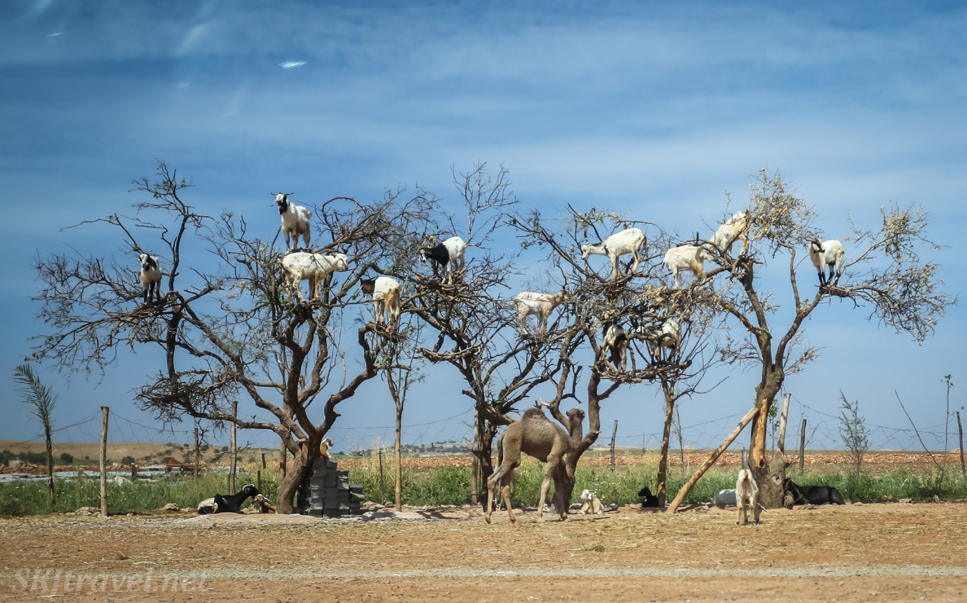 Goats in trees on the road between Marrakech and Essaouira, Morocco.