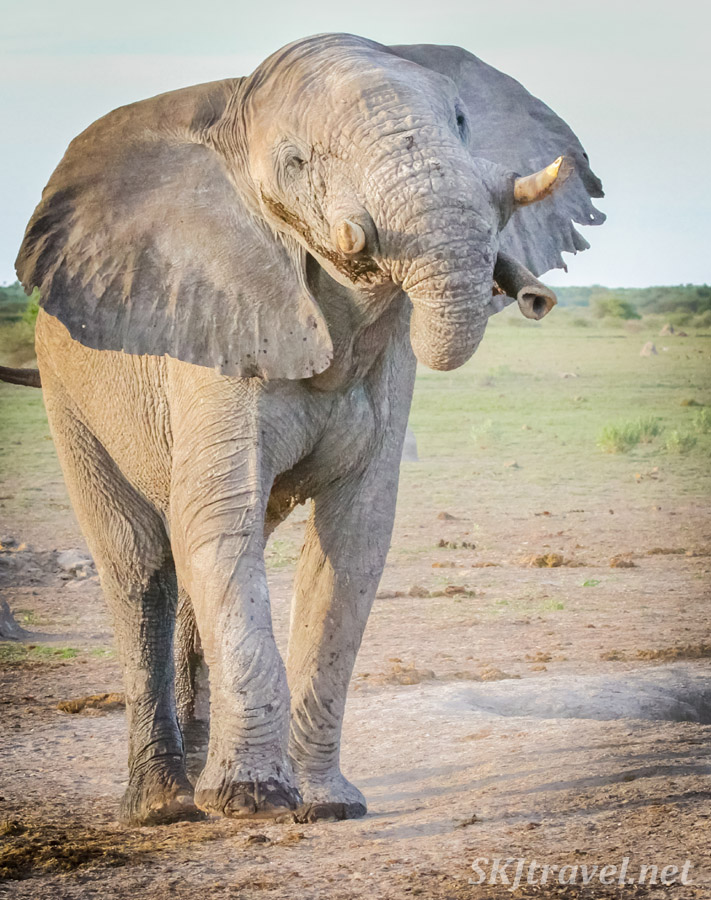 Elephant displaying how he can twist his trunk at a waterhole, Nxai Pan, Botswana.