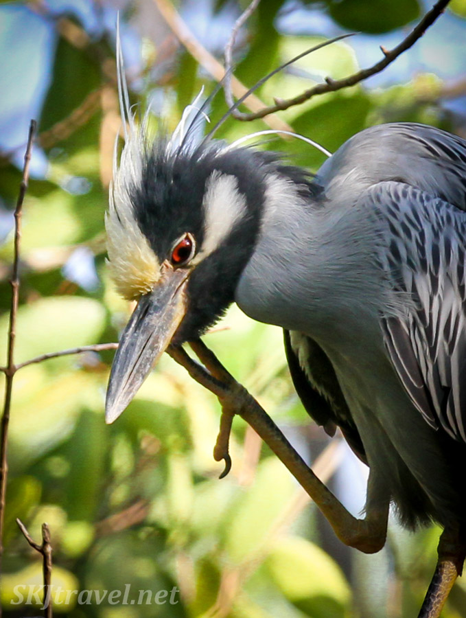 Yellow crowned night heron. Popoyote Lagoon, Ixtapa, Mexico.
