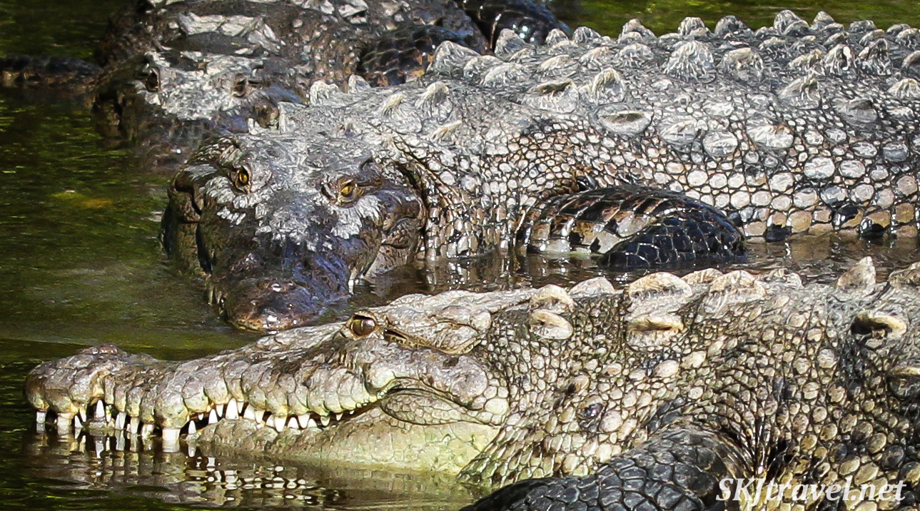 American crocodiles in the Popoyote Lagoon refuge, Ixtapa, Mexico. cocodrilario crocodile reserve