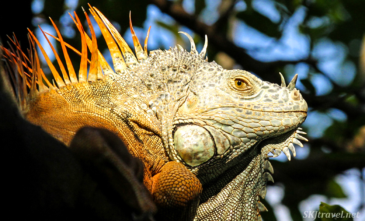 Large male iguana sunning himself in a tree. Popoyote Lagoon, Ixtapa, Mexico. cocodrilario crocodile reserve