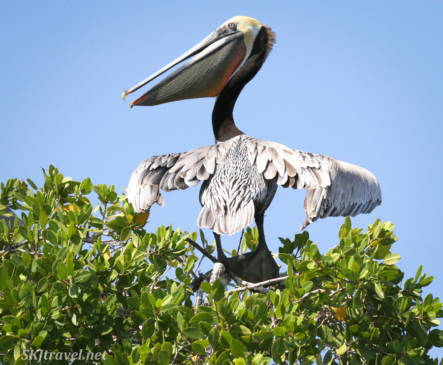 Adult brown pelican in a tree top looking very prehistoric. Barra de Potosi, Zihautanejo, Mexico.