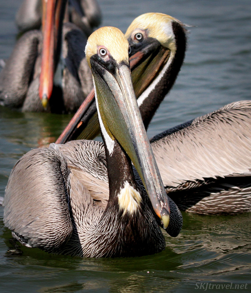 Adult brown pelicans, Barra de Potosi, Zihuatanejo, Mexico.