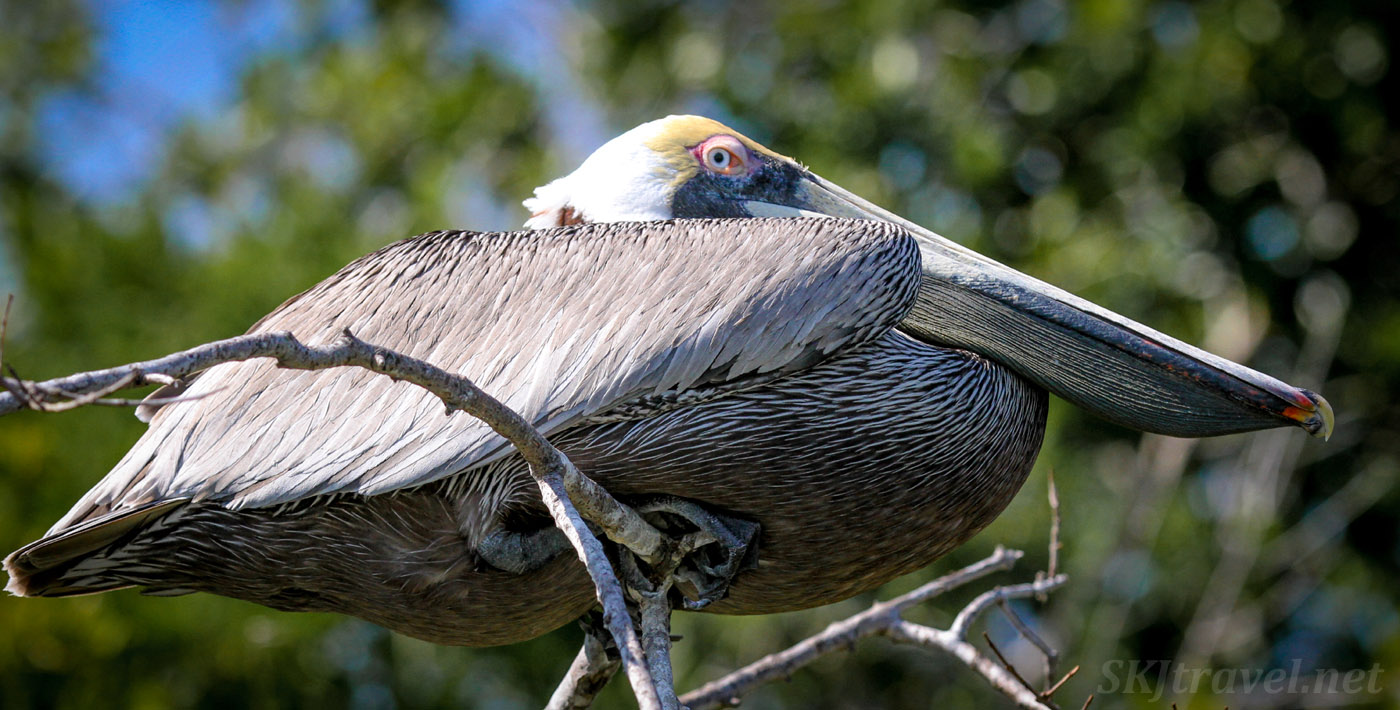 Adult brown pelican in a tree, compressed into lump of feathers. Barra de Potosi, Zihuatanejo, Mexico.