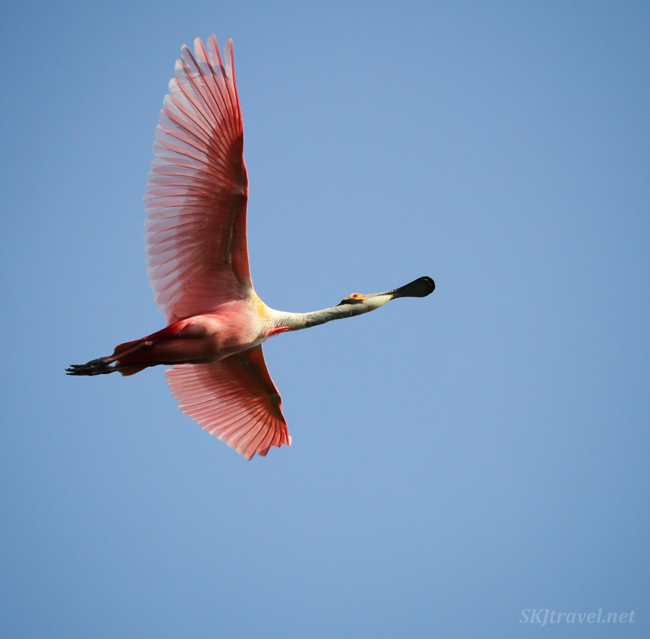 Two roseate spoonbill bird in flight. Playa Linda, Ixtapa, Mexico.