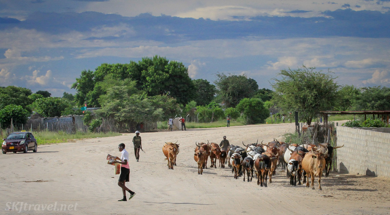 Cows being herded down a road, northern Namibia.