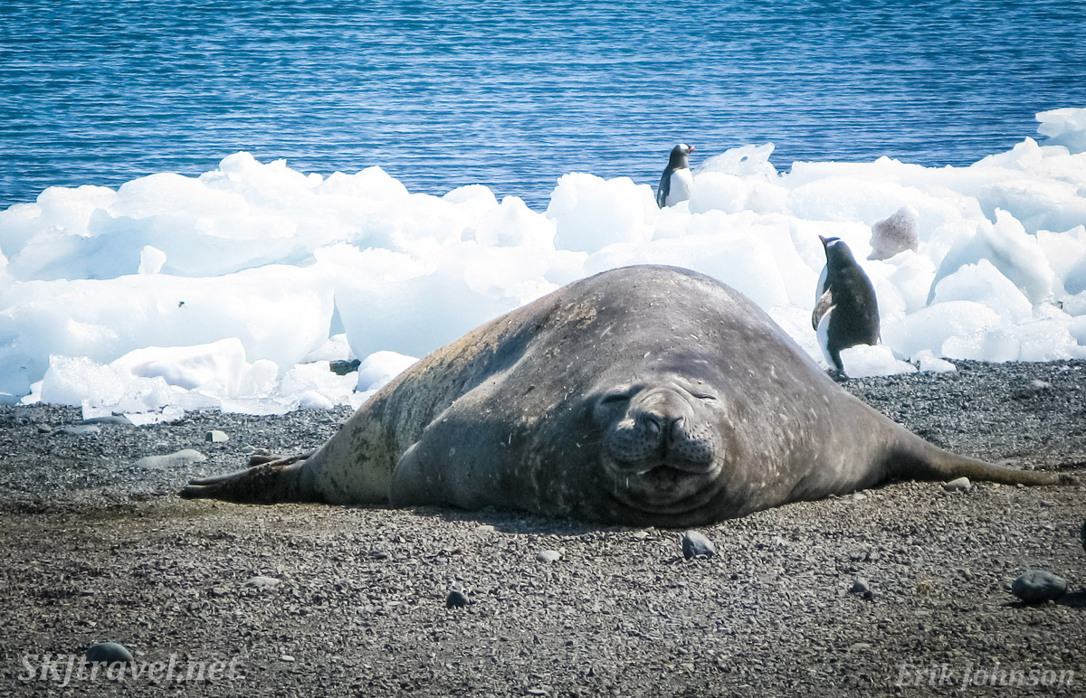 Elephant seal on a beach, Antarctica.