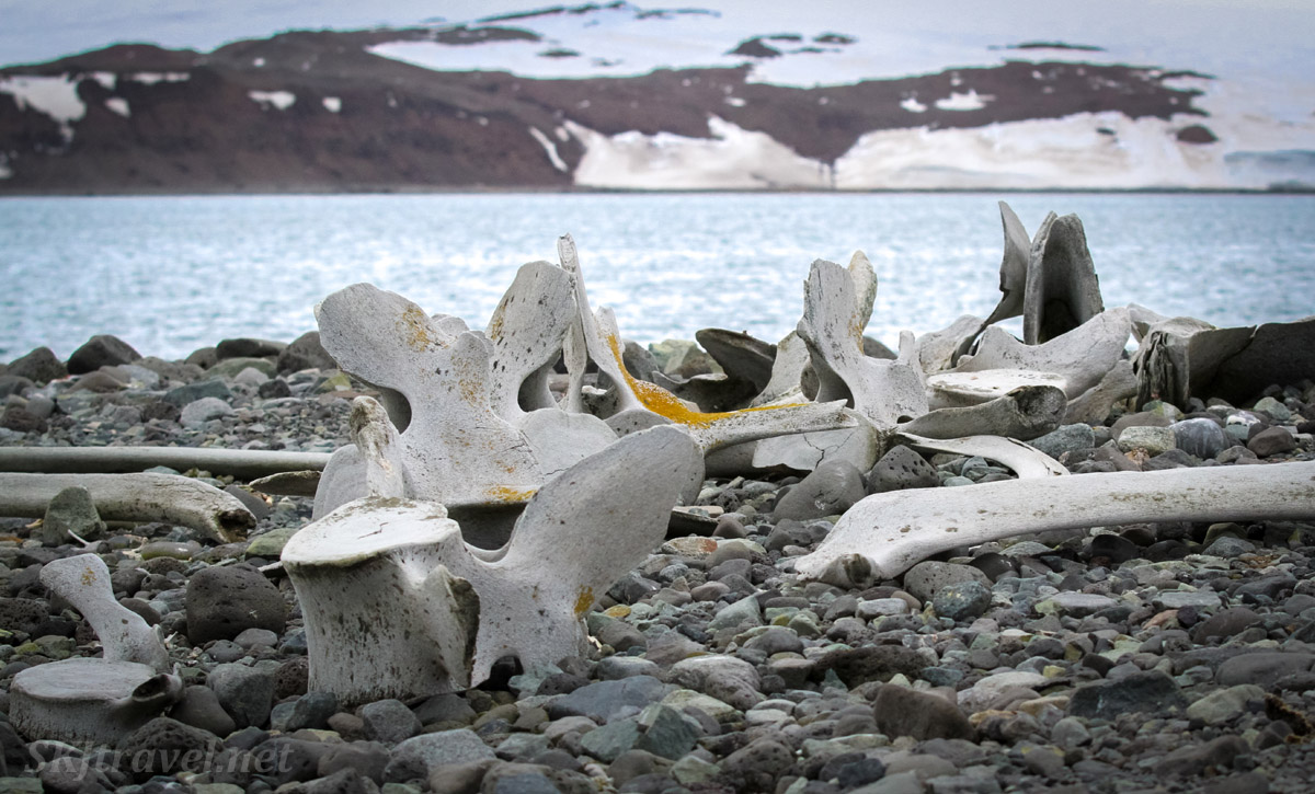 Very old whale bones scattered on the beach of Penguin Island, South Shetland Islands.