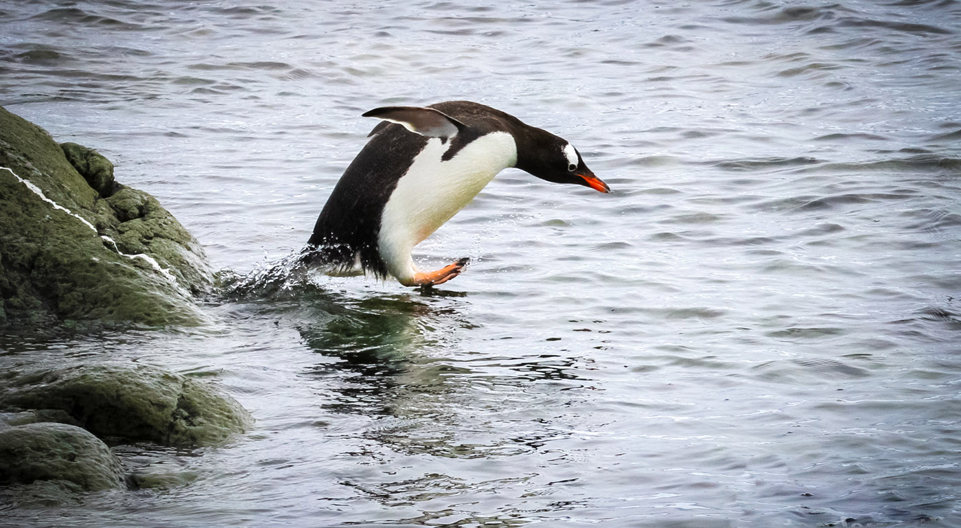 Penguin running into the water. Antarctica.