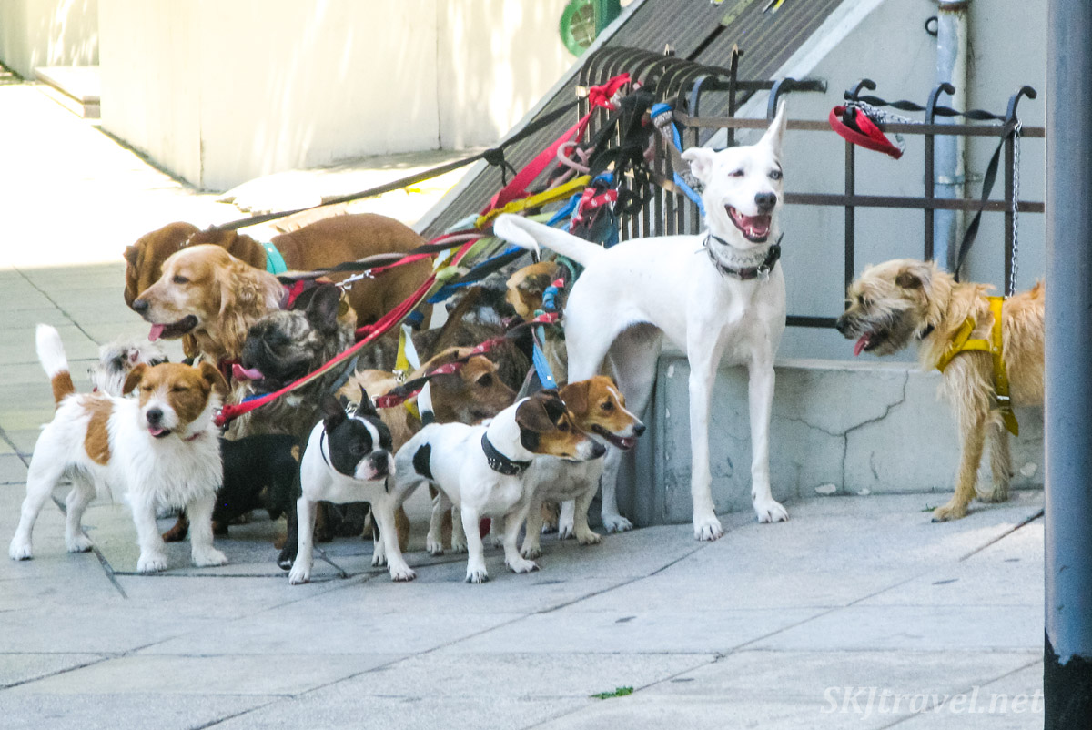 A group of dogs tied up on a sidewalk, Buenos Aires, Argentina.