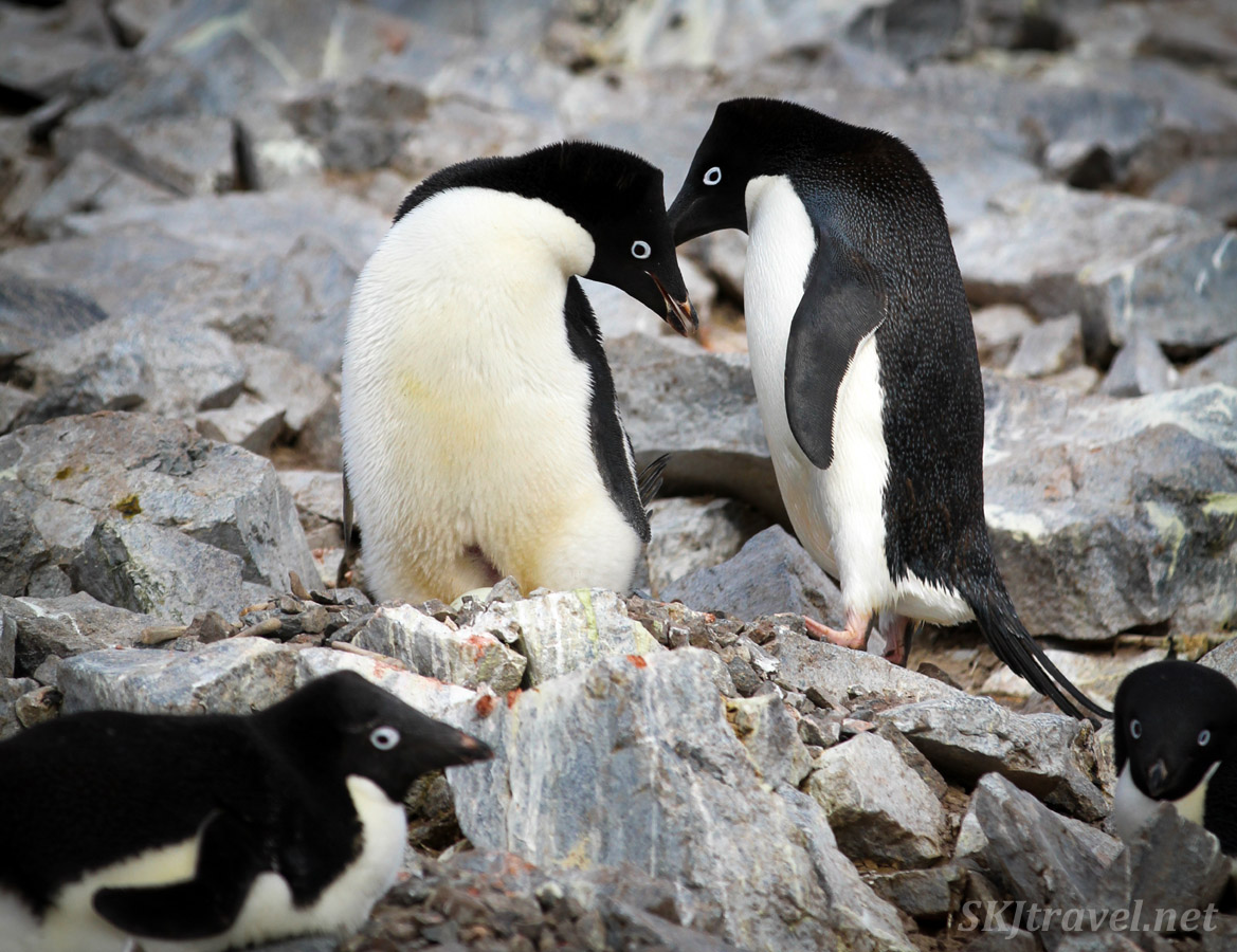 Adelie penguins switching nest and incubation duty. Antarctica.