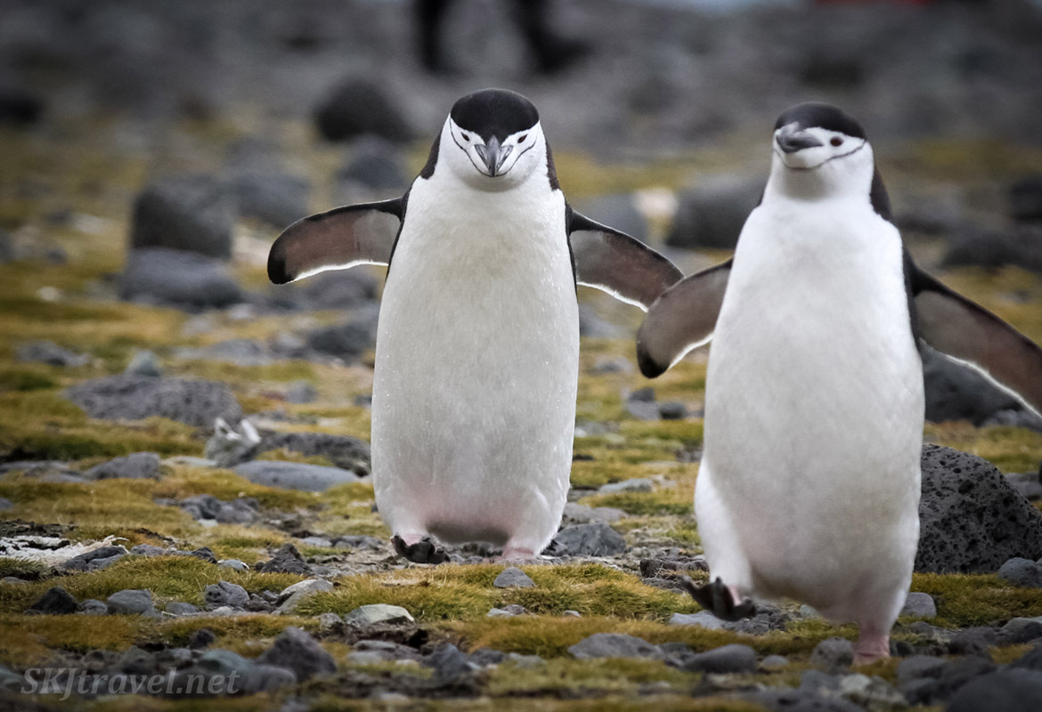 Chinstrap penguins approaching. Antarctica.