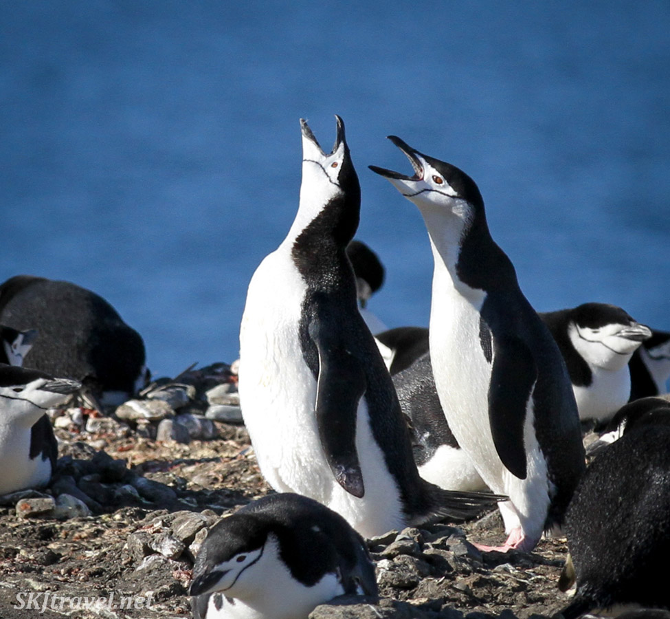 Chinstrap penguins in chorus. Antarctica.