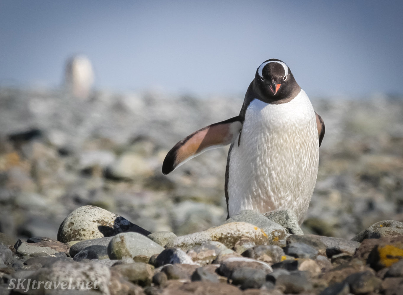 Gentoo penguin with attitude. Yankee Harbor, South Shetland Islands.