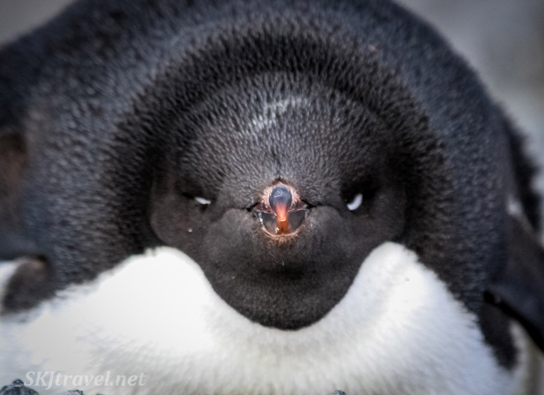 This adelie penguin means business. Gourdin Island, Antarctica.