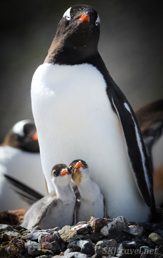 Gentoo penguin chick siblings chirping in chorus. Yankee Harbour, South Shetland Islands.