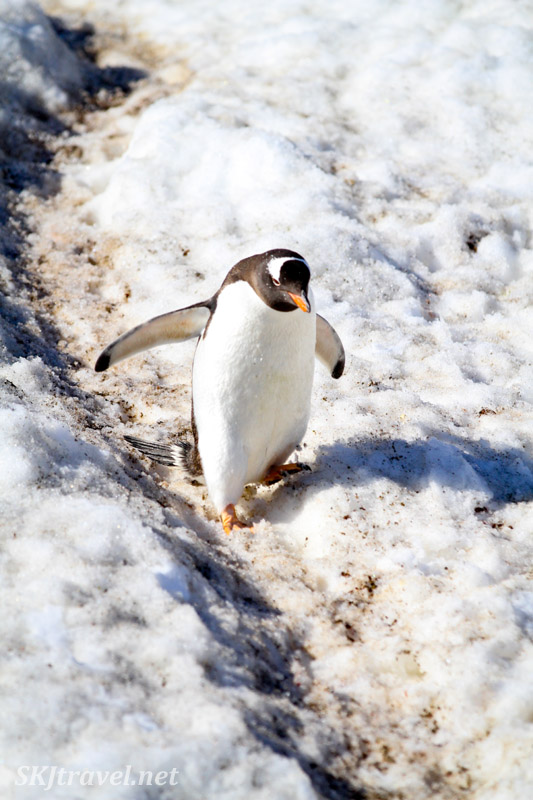 Gentoo pPenguin coming down a penguin highway, Brown Bluff, South Shetland Islands. The biffing-it series.