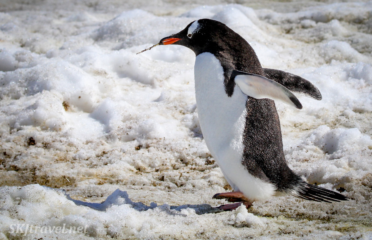Gentoo penguin bringing a stick back to its nest. Barrientos Island, South Shetlands.