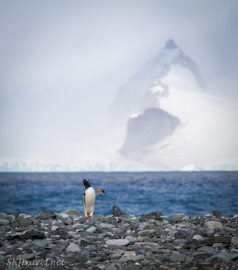 Gentoo penguin at Mikkelsen Harbour, gesturing to the mountains behind him. Antarctica.