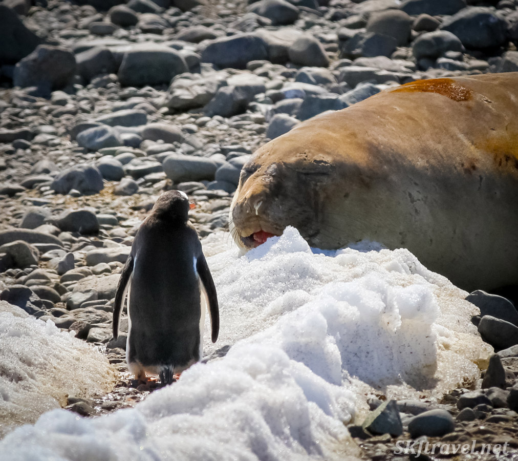 Penguin versus elephant seal. Yankee Harbour, South Shetlands.