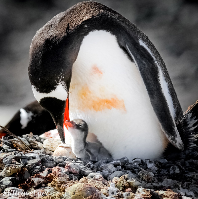 Gentoo penguin feeding its recently hatched chick. Antarctica.
