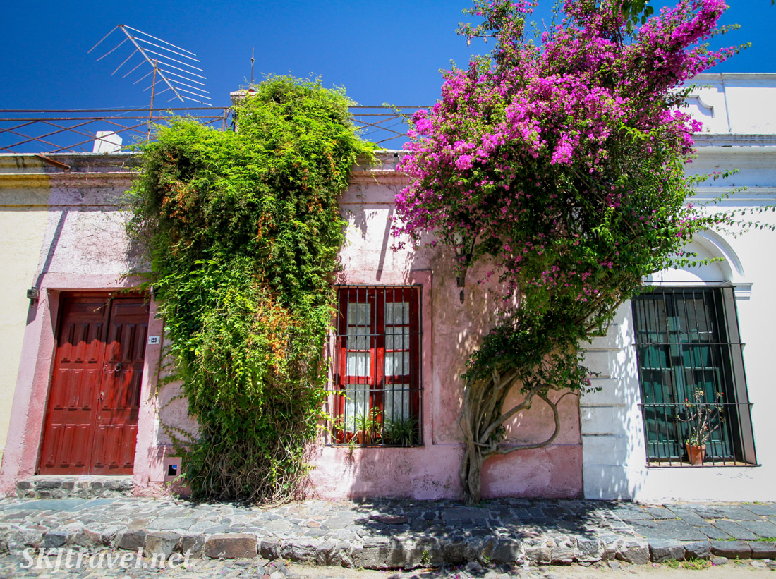 Pink flowering bougainvillea trees populate the streets of Colonia del Sacramento, Uruguay.