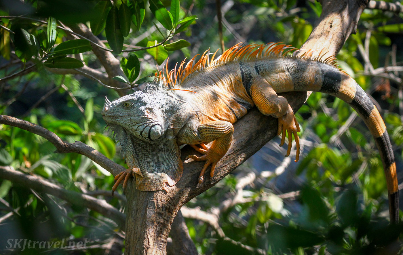 Colorful male iguana lounging on a tree branch. Popoyote Lagoon crocodile reserve, Playa Linda, Ixtapa, Mexico.