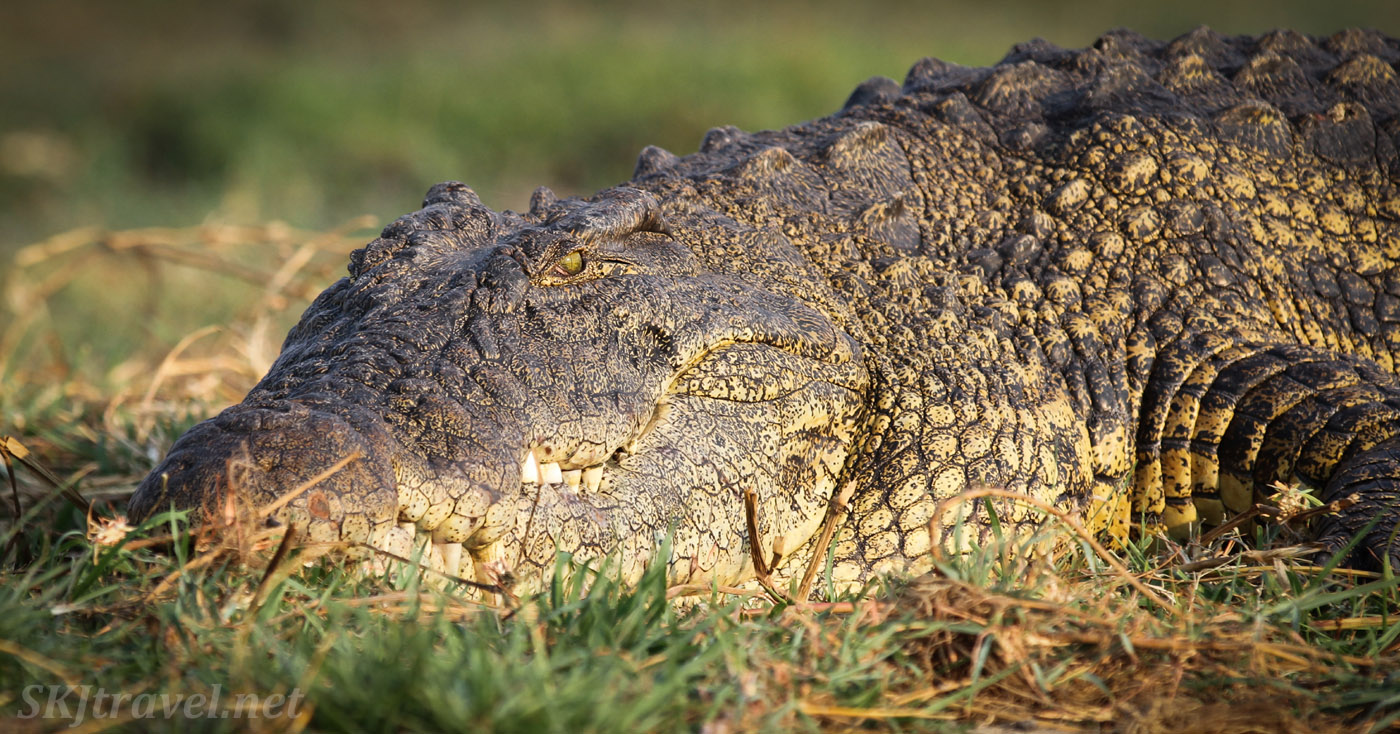 Nile crocodile sunning himself on the bank of the Chobe River, Botswana. Bottom scales shining golden.