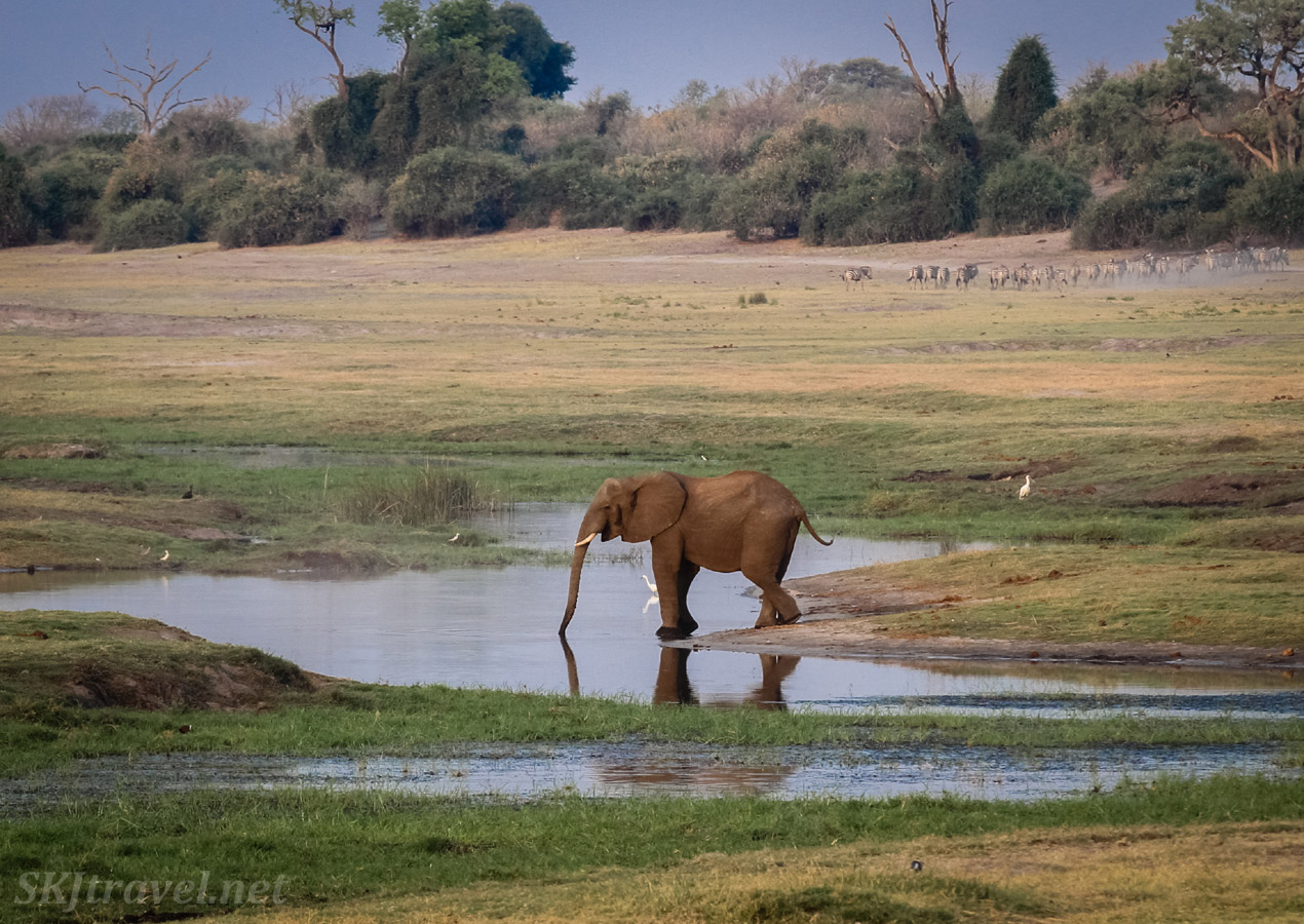 Lone elephant drinking at the border of Chobe National Park and Namibia.