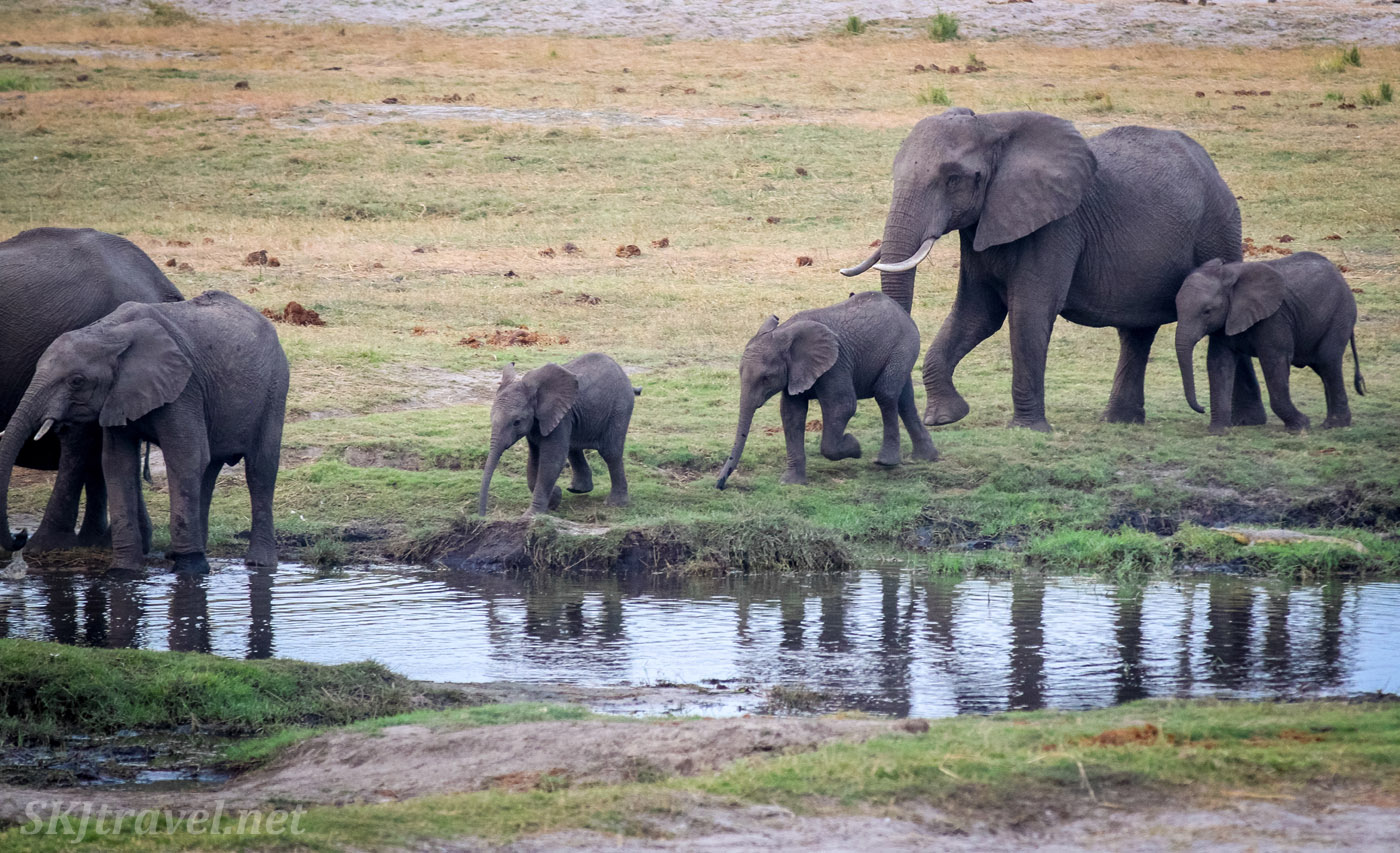 Elephant family coming to drink water in the evening, Chobe, Okavango Delta, on the border of Namibia and Botswana.