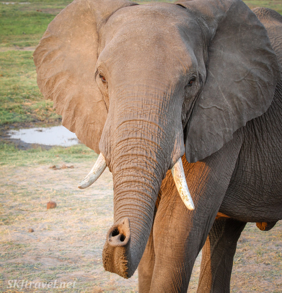 Elephant coming to say hello, Chobe National Park, Botswana.