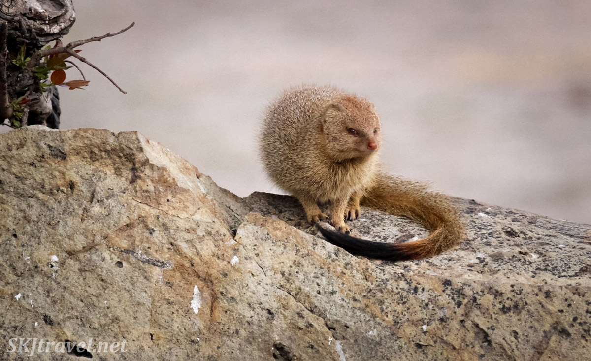 Slender mongoose sitting on a rock, his tail curled around him. Chobe National Park, Botswana.