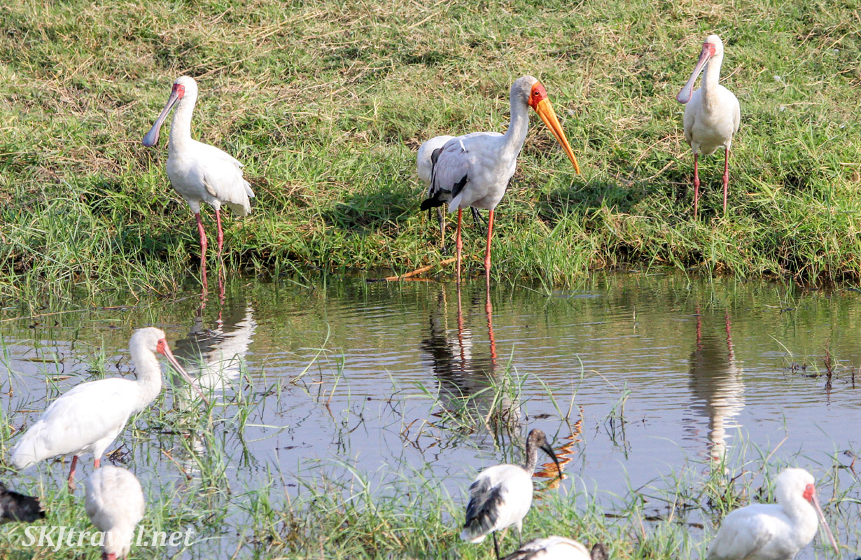 African spoonbills and a yellow billed stork drinking with their reflections, Chobe, Botswana.