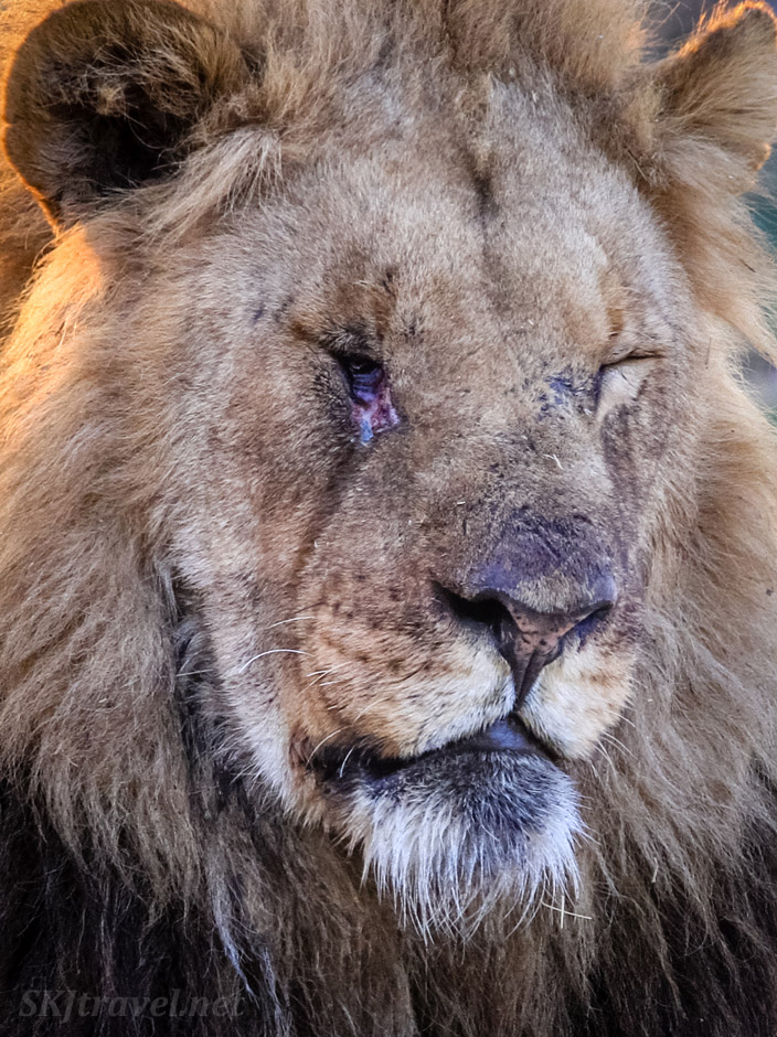 Adult male lion with an infected eye. Khwai Concessions, Okavango Delta, Botswana.