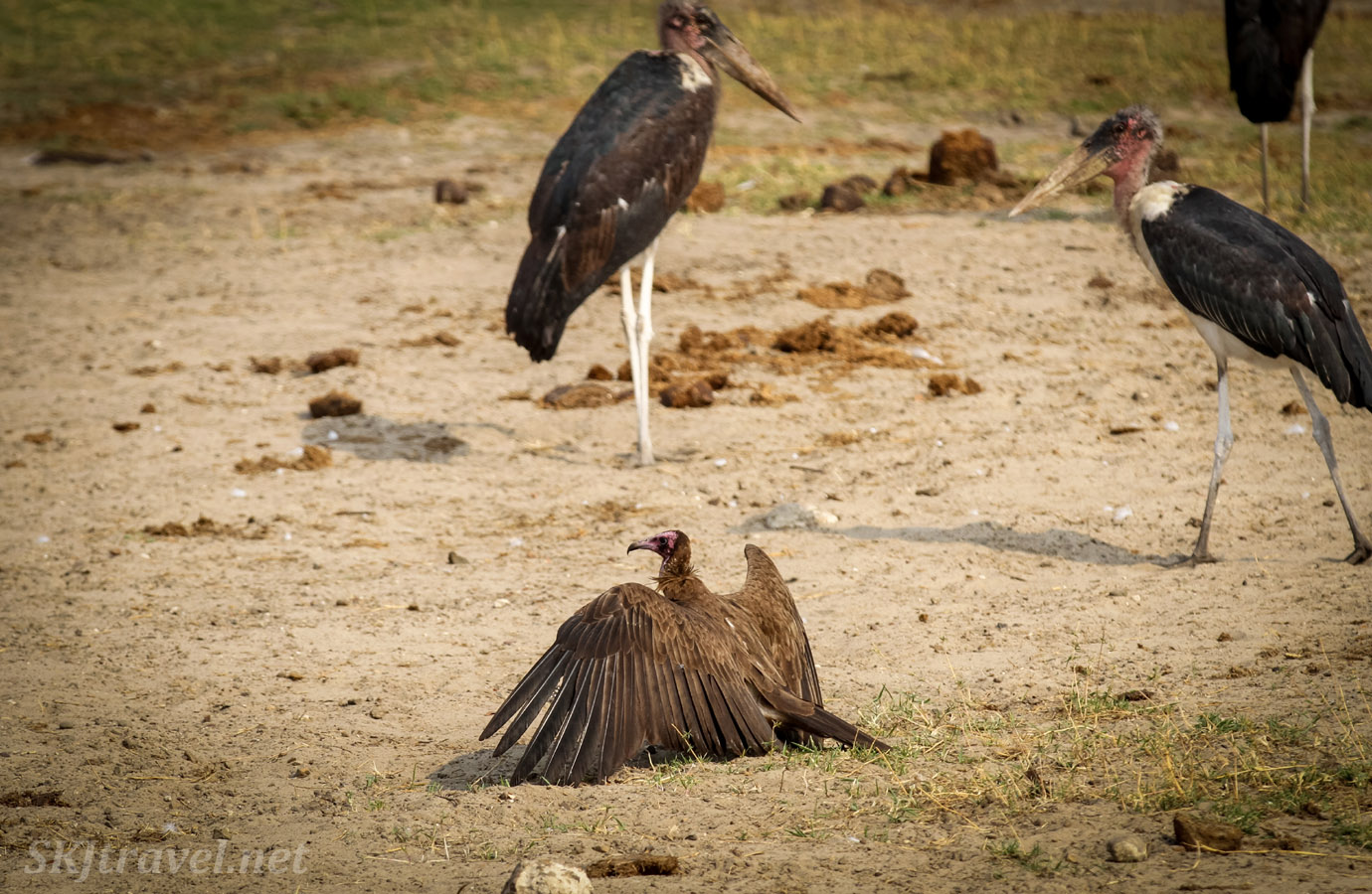 Lappet faced vulture airing our his wings near marabou storks near dusk. Chobe National Park, Okavango Delta, Botswana.