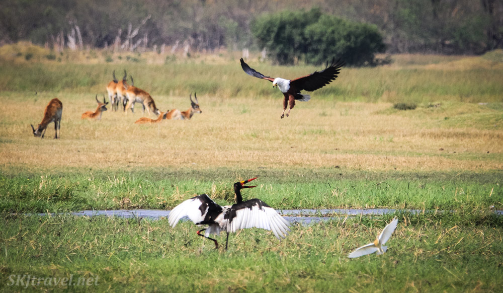 Fish eagle dive bombing a saddle billed stork in the marshes of Khwai Concessions, Botswana. Okavango Delta.