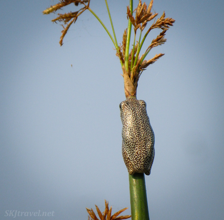 Tiny frog clinging to a stalk of marsh grass, Khwai Concessions, Okavango Delta, Botswana.