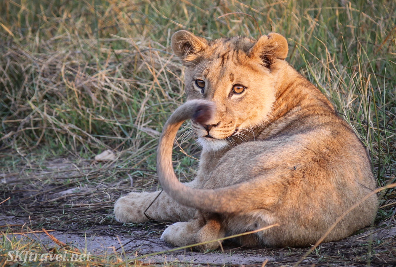 Lion cub watching his tail with interest at sunset, Khwai Concessions, Botswana.