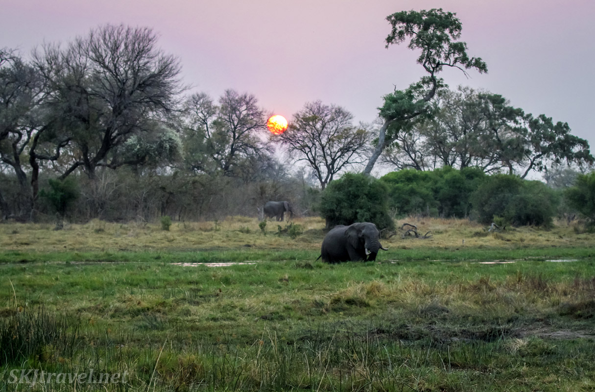 Elephants coming out to eat the marshy grasses in the cool evening at sunset, Khwai Concessions, Botswana.