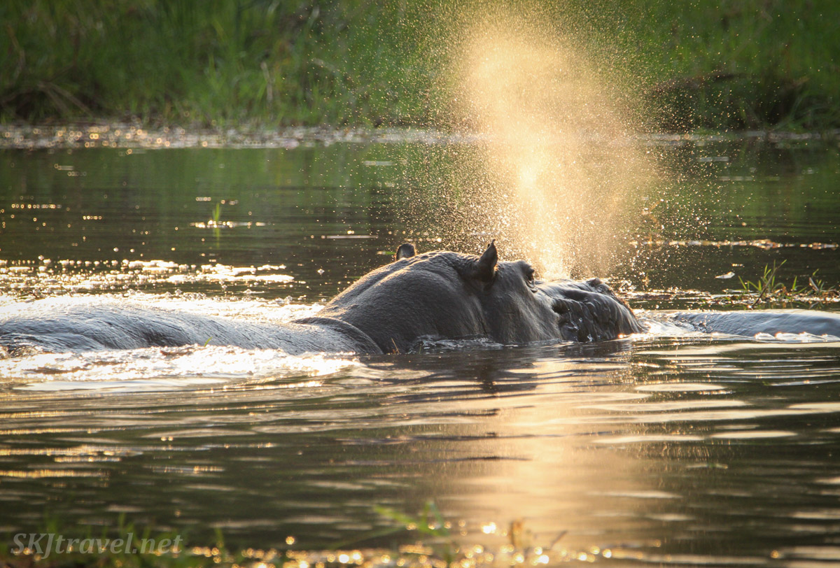 Hippo spaying water in the golden sunset light, Khwai Concessions, Botswana.