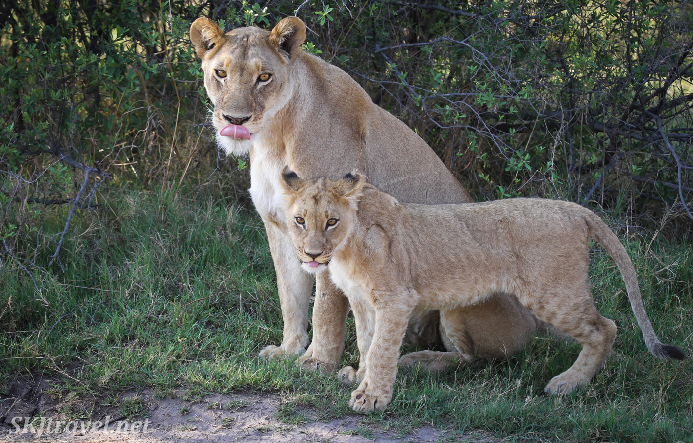Lion cub and lioness sticking their tongues out at the same time. Khwai Concessions, Botswana.
